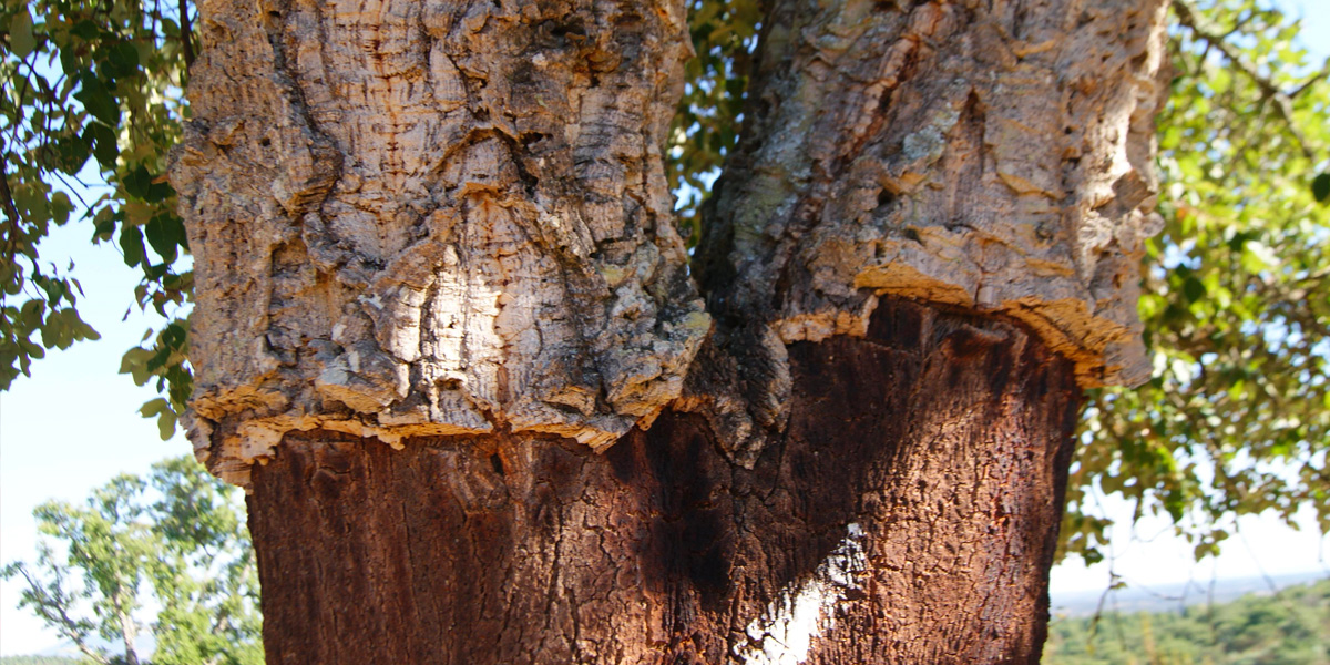 Forêt de chênes-liège